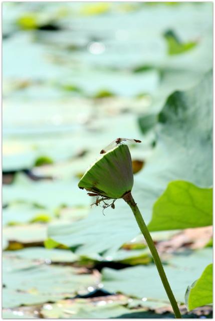 青森県 平川市 猿賀公園 猿賀神社 トンボ 写真
