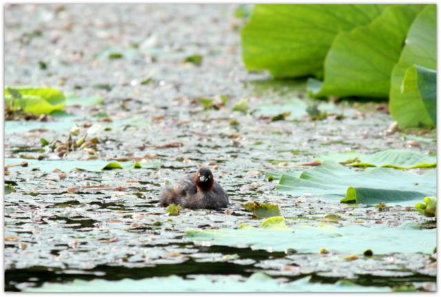 青森県 平川市 猿賀公園 猿賀神社 野鳥 鳥の写真 カイツブリ 雄 雌 番い 雛鳥