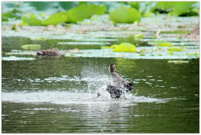 青森県 平川市 猿賀公園 猿賀神社 野鳥の写真 鳥 水鳥 カルガモ