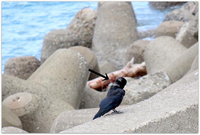 野鳥 カラス 鳥の写真