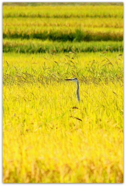 野鳥の写真 青鷺 あおさぎ アオサギ 鳥 田んぼ 秋