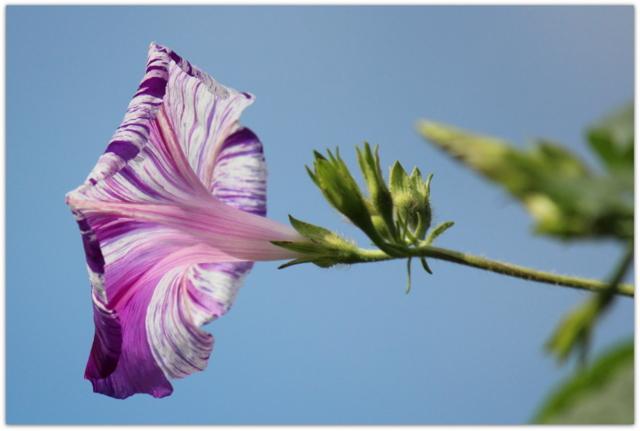 アサガオ あさがお 朝顔 花の写真 季節を感じる庭の花