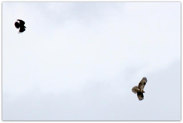 野鳥 鳥 ノスリ 猛禽類 カラス 写真