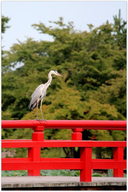 青森県 平川市 猿賀公園 猿賀神社 野鳥 鳥の写真 青鷺 アオサギ