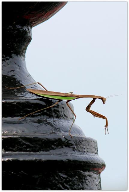 オオカマキリ 昆虫の写真