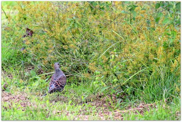 青森県 弘前市 野鳥の写真 キジバト 雉鳩