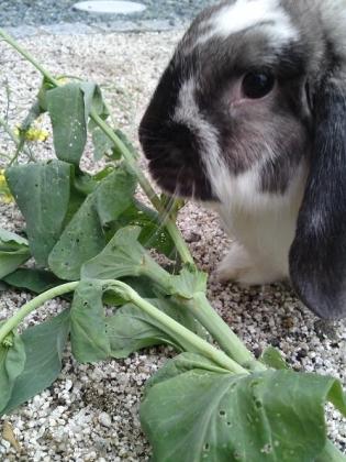20120527007_白菜を食べるそら