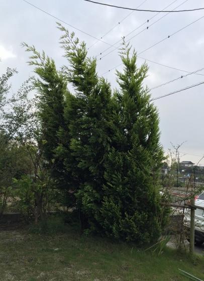 20150902001_台風で傾いた木