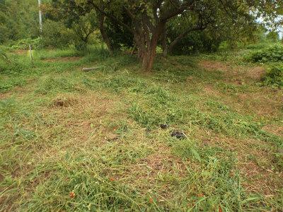 8.29果樹下も草刈