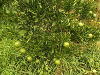 9.5柑橘1
