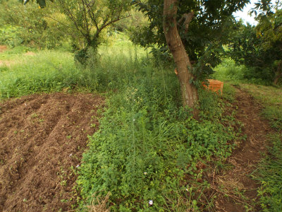 9.5栗の木の下草刈前
