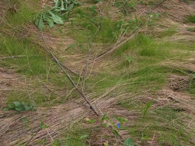 9.12ナギナタガヤの新芽