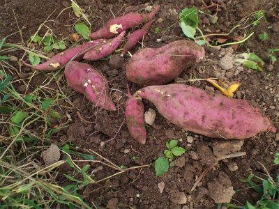 10.12サツマイモ収穫