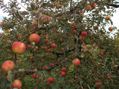 10.12リンゴ畑1