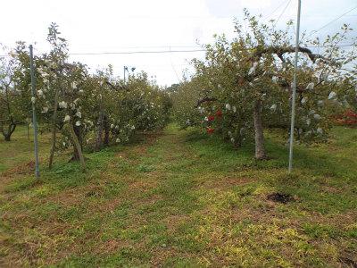10.12リンゴ畑2