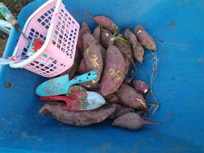 10.18サツマイモ収穫