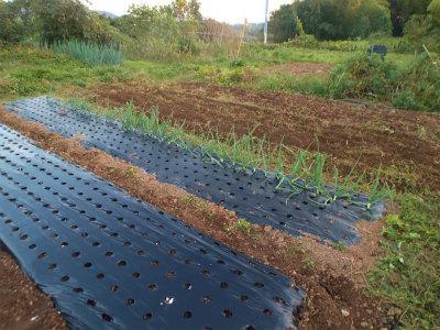 10.18ニンニク植えと畑の整理