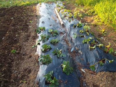 10.18イチゴの植え替え