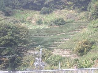 茶畑_H22.11.16撮影