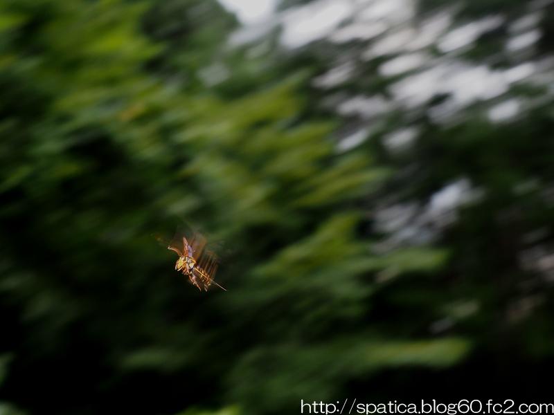 セスジスカシバ♂飛翔