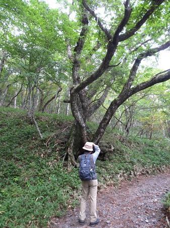 003登山道の大きな木