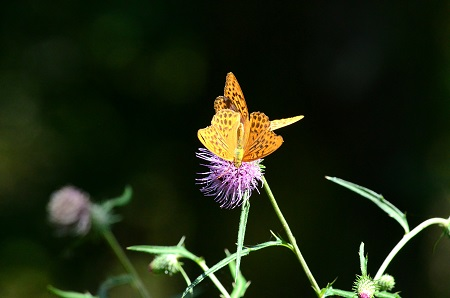 325ひょうもん蝶