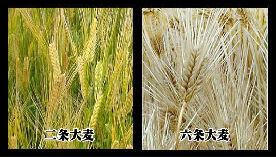 二条大麦と六条大麦