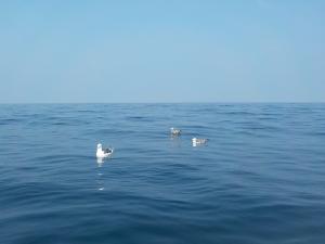 DSCN0890 餌をたかる海鳥ども
