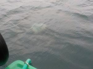 DSCN1027 クラゲはまだ多い