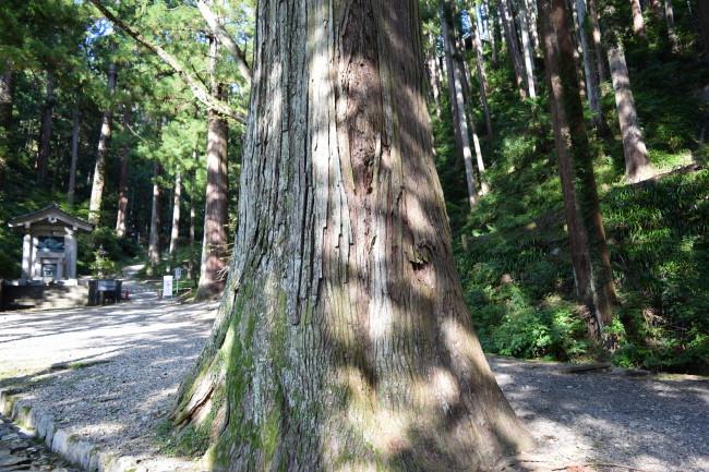 身延山 巨木