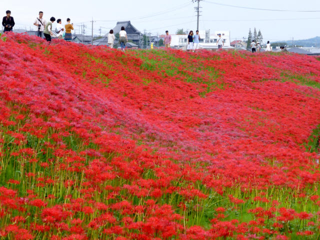 矢勝川の彼岸花5