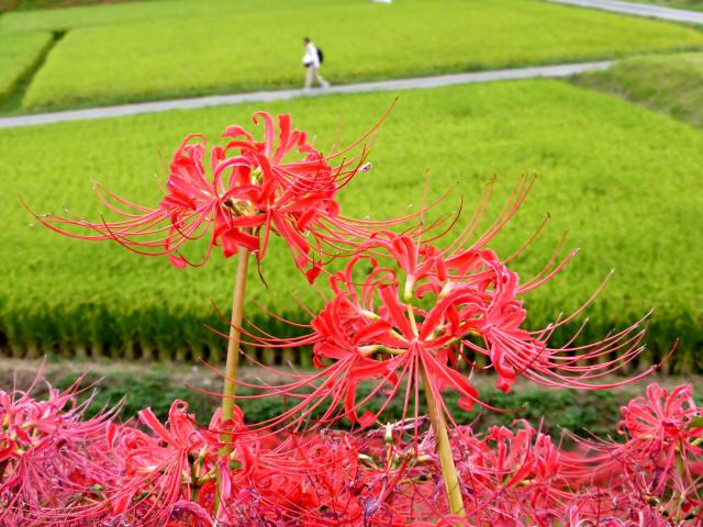 矢勝川の彼岸花8