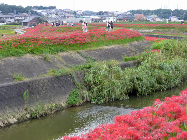 矢勝川の彼岸花9