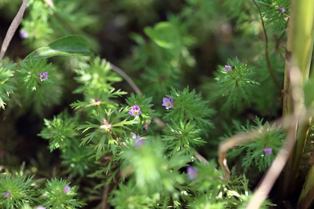 キクモ(菊藻)