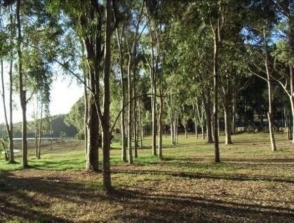 ユーカリの林