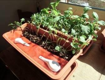 カイワレダイコンのプランタリレー栽培様子