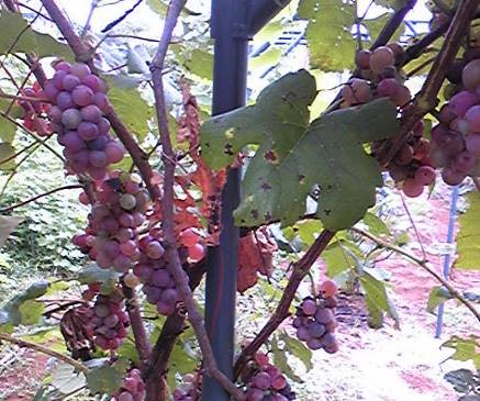 小粒のブドウ2015