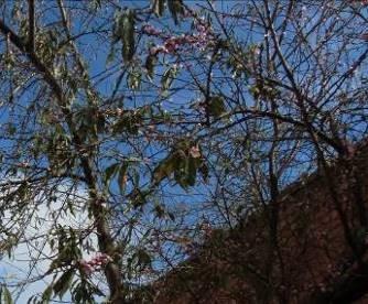 マダガスカルの桃の木
