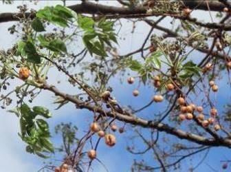 マダガスカルの木と新芽