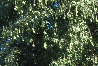 マンゴー小粒種鈴なり