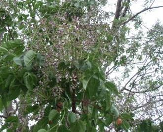 フォンデラカの花