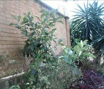 マダガスカル、アパートの前のビワの木