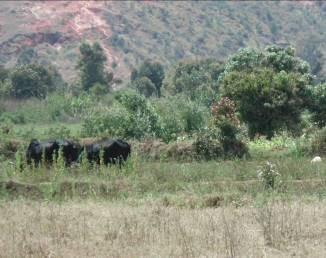アロチャ湖周辺の牛と景色