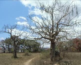 若いバオバオの木