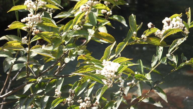 白実小紫式部(シロミノコムラサキシキブ)
