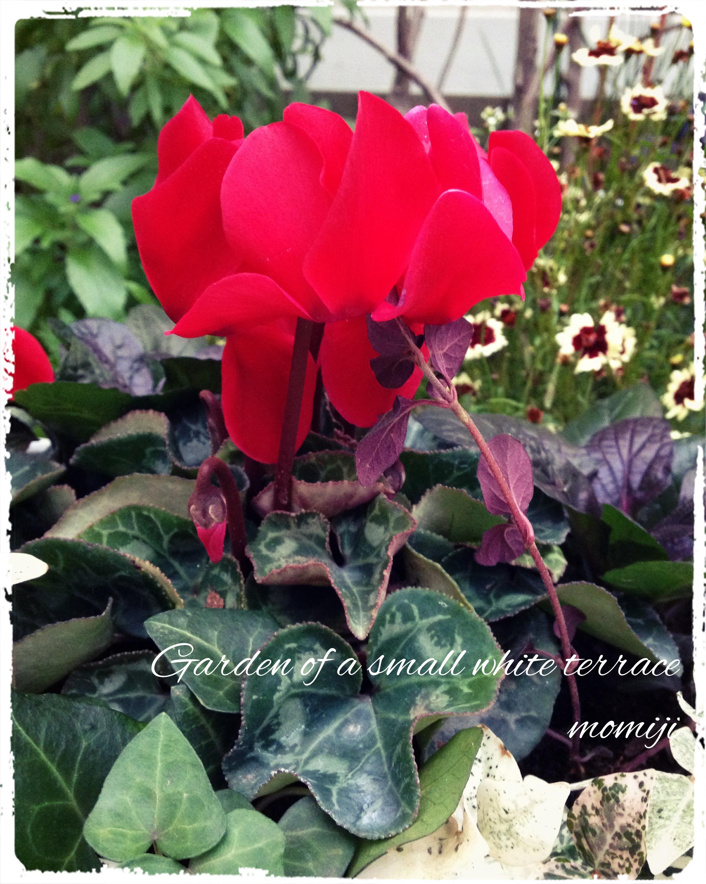 ガーデンシクラメン 寄せ植え 赤