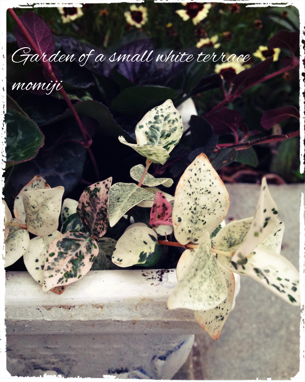 ガーデンシクラメン 寄せ植え 初雪かずら
