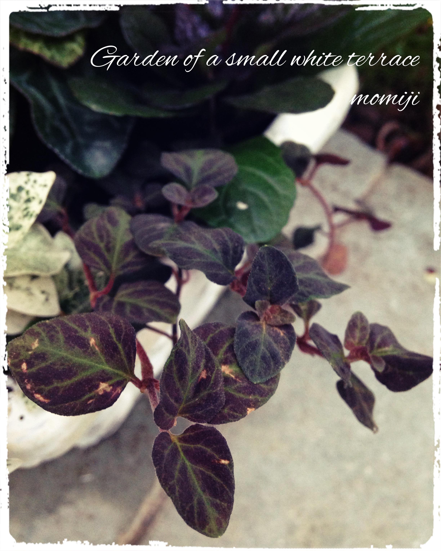 ガーデンシクラメン 寄せ植え リシマキアミッドナイトサン