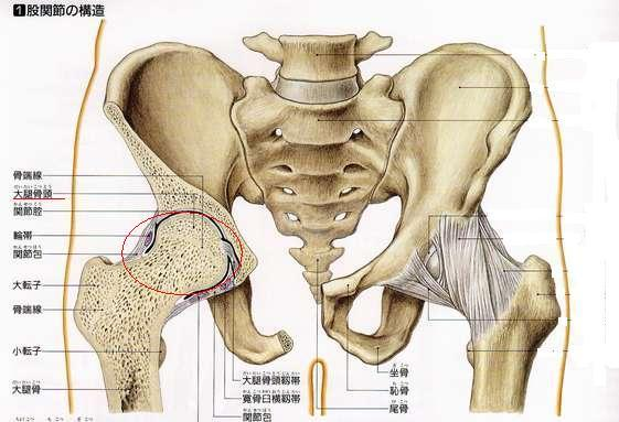 股関節解剖