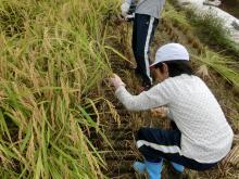 稲刈り159-8